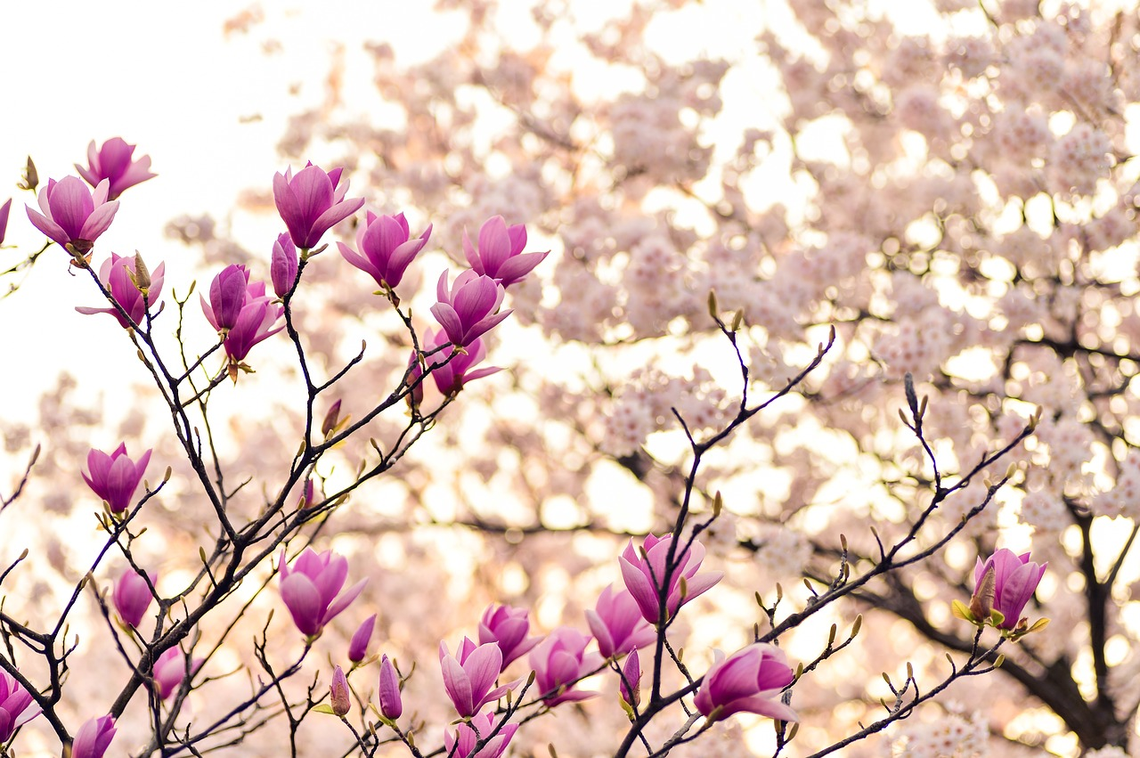 4 cosas hermosas de la primavera en Japón-PIXA